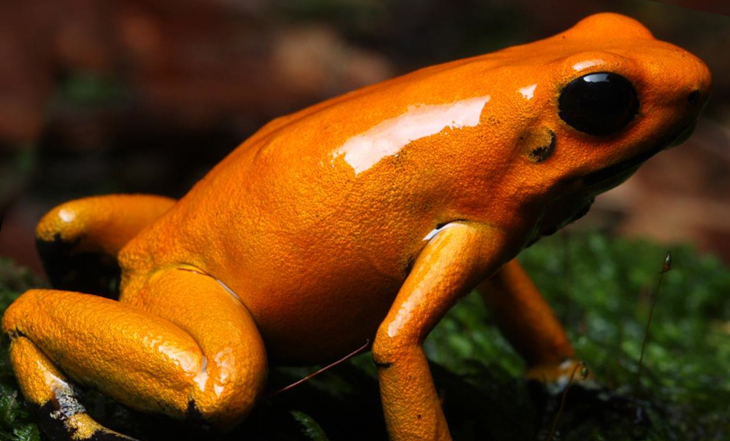 Phyllobates terriblis naranja